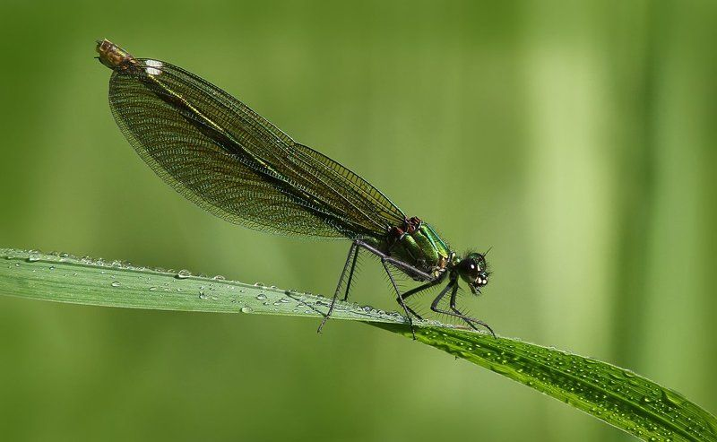 Calopteryx virgophoto preview