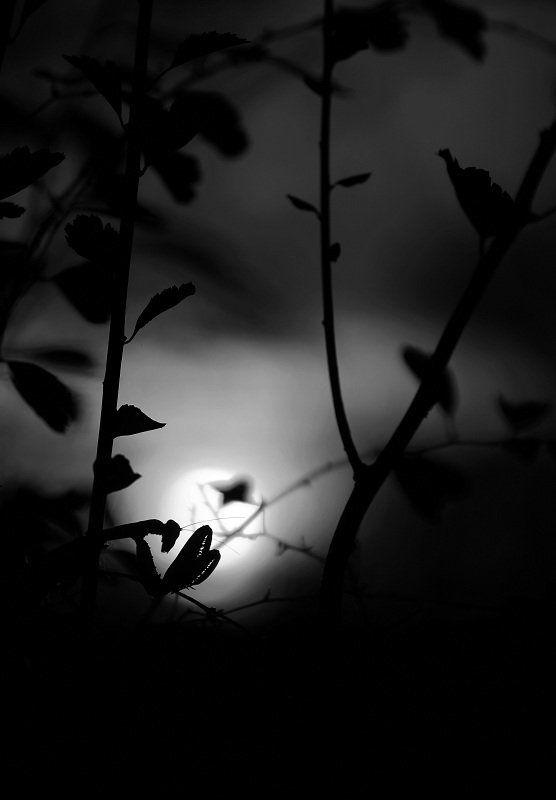Богомол Ночьphoto preview