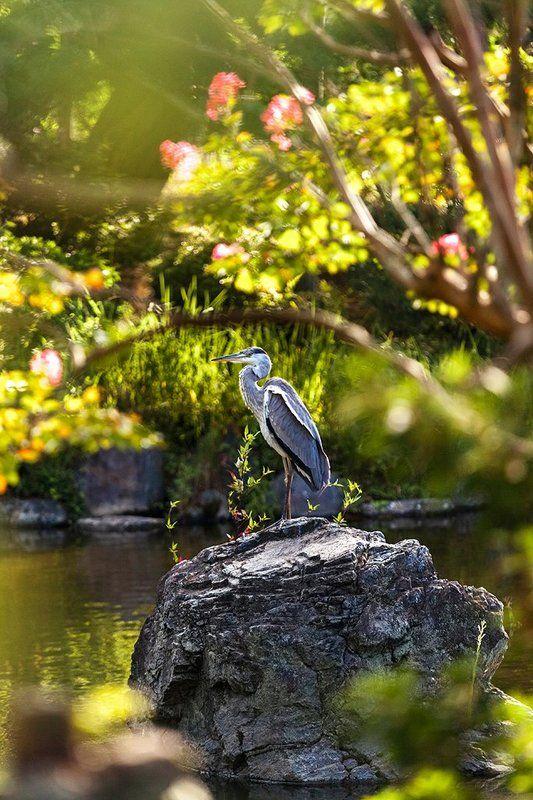Киото, Природа, Птица, Цапля, Япония Цапля в Киотоphoto preview