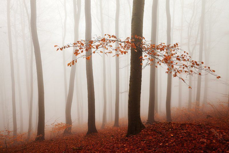 Autumn, Beech, Branch, Colors, Czech republic, Fall, Fog, Foliage, Forest, Landscape, Light, Martin rak, Mist, Mood, Mountains, Nature, Photography, trees, Trunks Redphoto preview