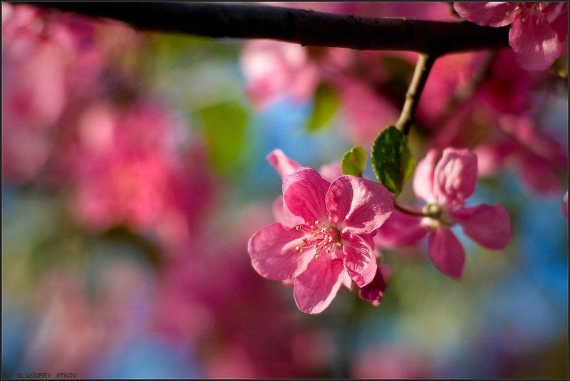природа Яблоневый цветphoto preview