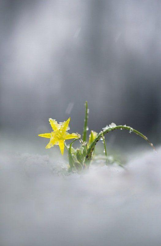 гусиный, лук Отголоски зимыphoto preview