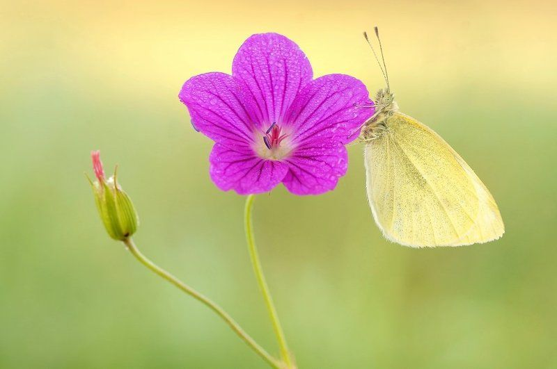 White butterfly...photo preview