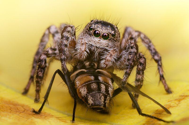 скакун паук осень муха жертва еда пища хелицеры  Трапеза photo preview