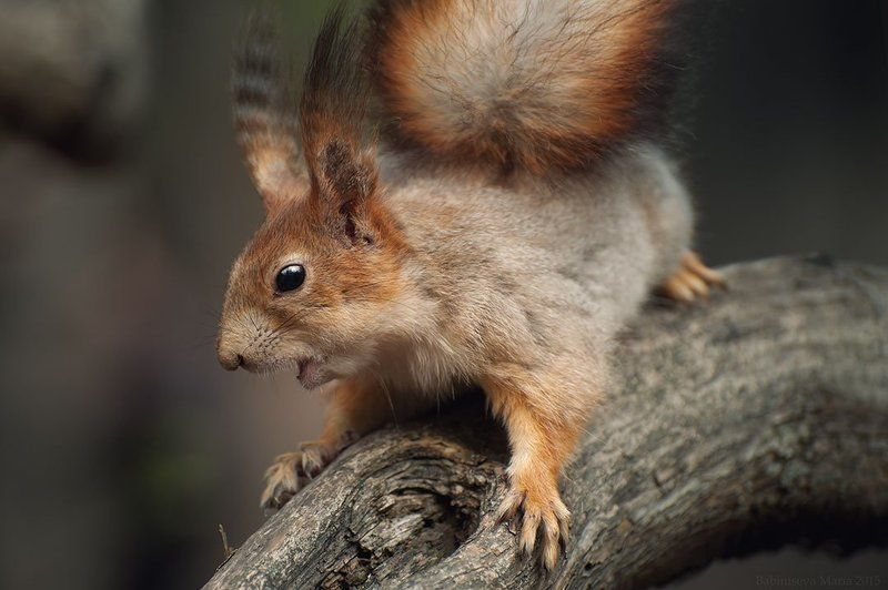Animal, Nature, Squirrel ***photo preview