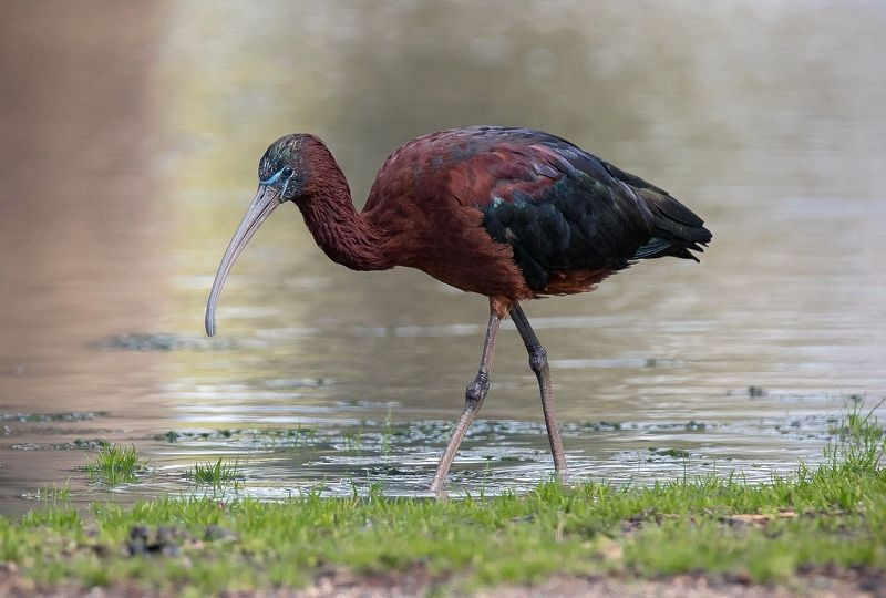Glossy ibis, Ибисы, Каравайка, Природа, Птицы Glossy ibisphoto preview
