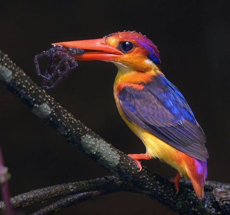 Oriental Dwarf Kingfisherphoto preview