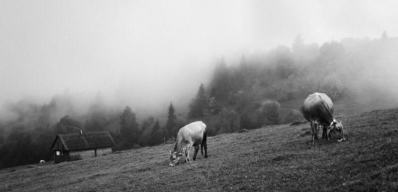 карпаты, деревня, коровы Сельская жизньphoto preview
