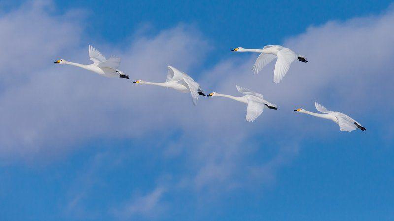 лебедь, небо, облака, полет, хоккайдо, cиретоко, япония Лебеди cиретоко в полетеphoto preview