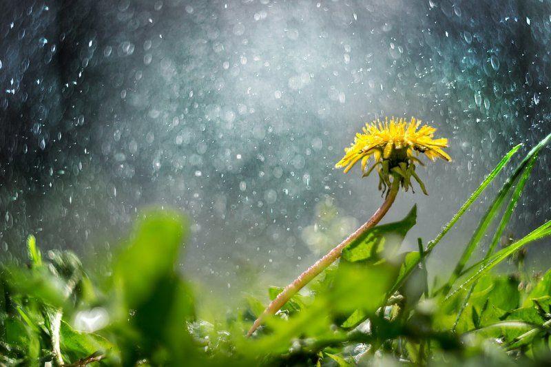 одуванчик, цветок, крупный план, вода, дождь. Одуванphoto preview
