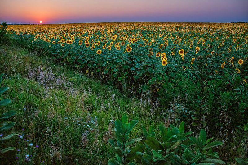 Вечер, Закат подсолнухи, Поле, Цветы закат над подсолнухамиphoto preview