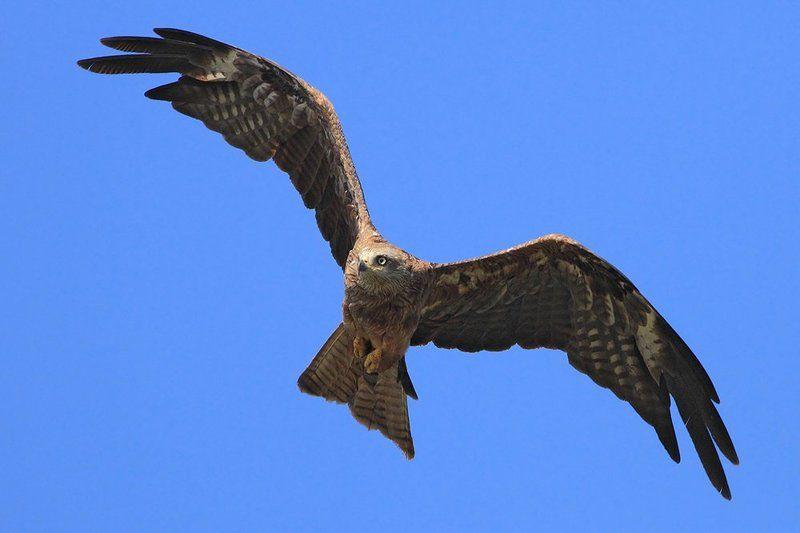 400mm, 7D, Animals, Birds, Red kite, Животные, Красный коршун, Птицы Красный коршунphoto preview