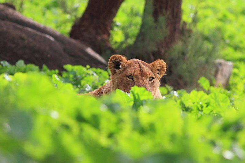 animals, lion, ambush, 7d, 400mm, животные, лев В засадеphoto preview