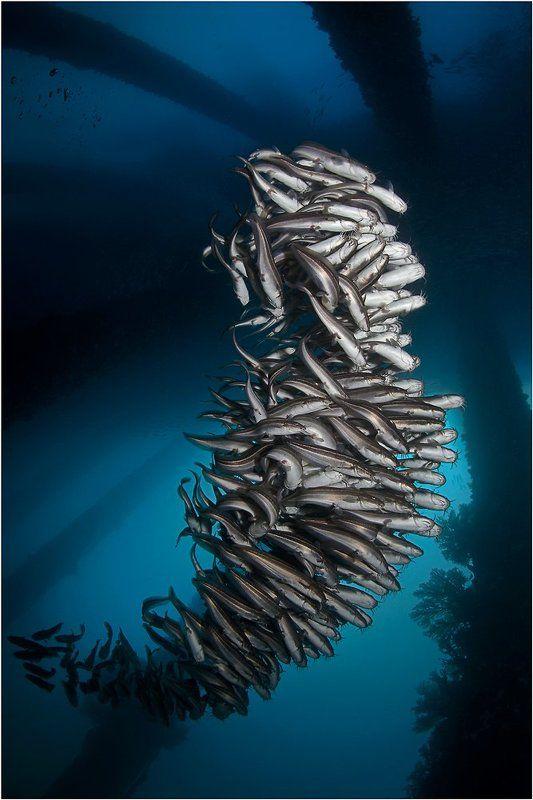 Bali, CandiDasa, Diving, Indonesia, Underwater photography, Бали, Подводная фотография, Чандидаса Under the pier stories. Parte unophoto preview