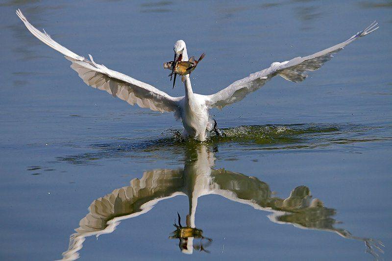 600mm, 7D, Animals, Birds, Животные, Птицы, Рыба, Цапля Fishing storyphoto preview