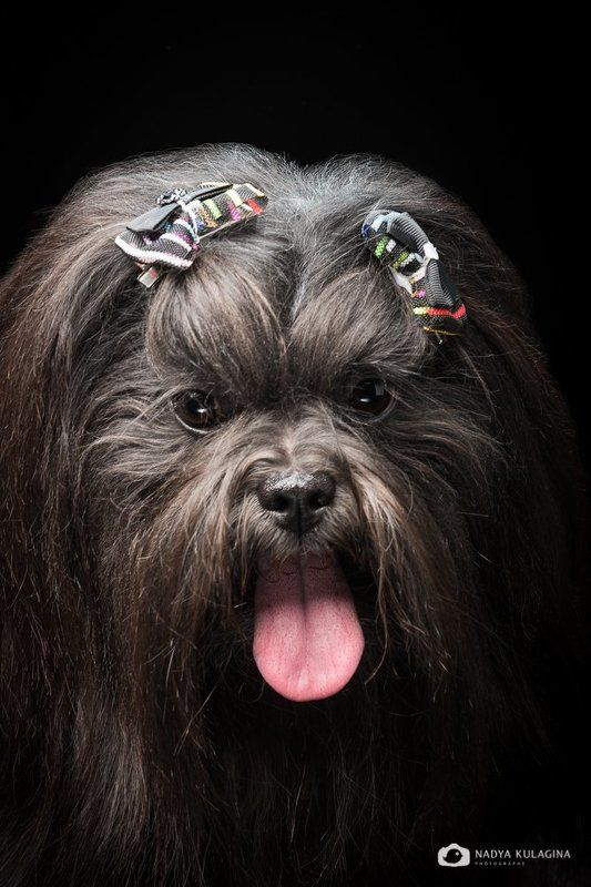 Animal, Dog, Pet, Studio Чупакаphoto preview