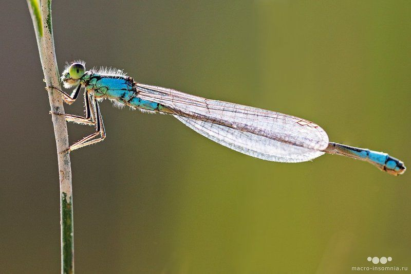 макро,насекомые,стрекоза,стрелка, macro-insomnia, macro, insect, dragonfly, дикий макромир, макро инсомния, кривошеев кирилл Стрелкаphoto preview