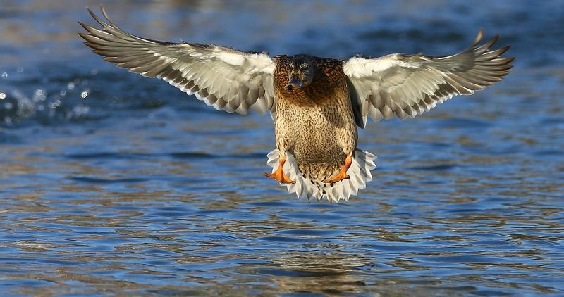 #birds, #fauna, #mallard, #nature, #wildlife, #кряква обыкновенная, #природа, #птицы, #утка, #фауна Приводнениеphoto preview
