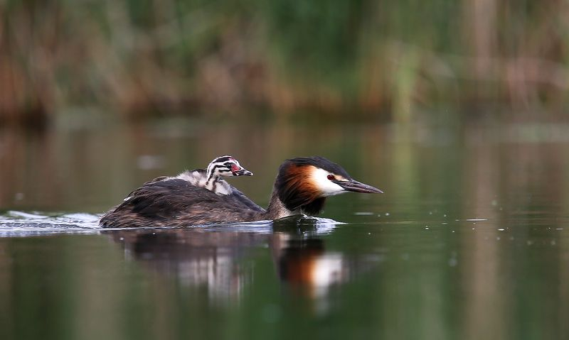 #birds, #fauna, #Grebe, #nature, #wildlife, #природа, #птицы, #фауна Юный путешественникphoto preview