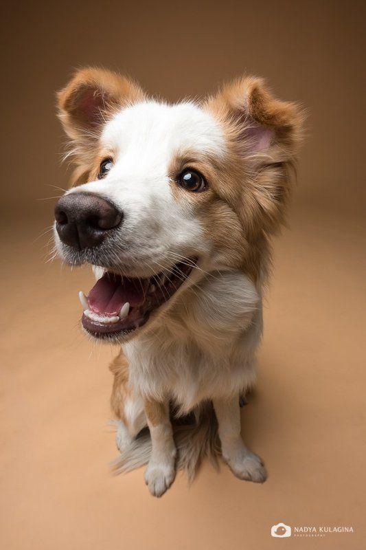 собаки, студия, studio, pet, pup, puppy Носикиphoto preview