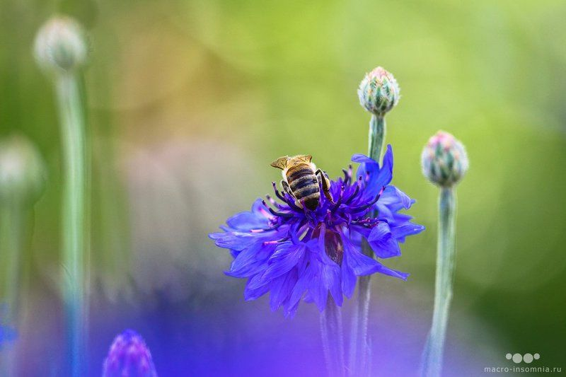 макро, насекомые, пчела, нектар, собирая, кривошеев кирилл, двукрылые, macro insomnia Собирая нектарphoto preview