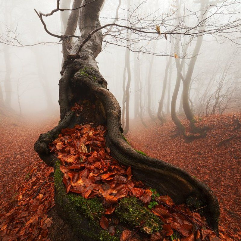 Ancient, Autumn, Beech, Fall, Fog, Foliage, Forest, Leaves, Mist, Old, Tree, Trunks Ancient Treephoto preview