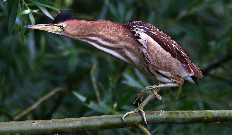 #bird, #fauna, #little bittern, #nature, #wildlife, #малая выпь, #природа, #птицы, #фауна Малая выпь (молодая особь)photo preview