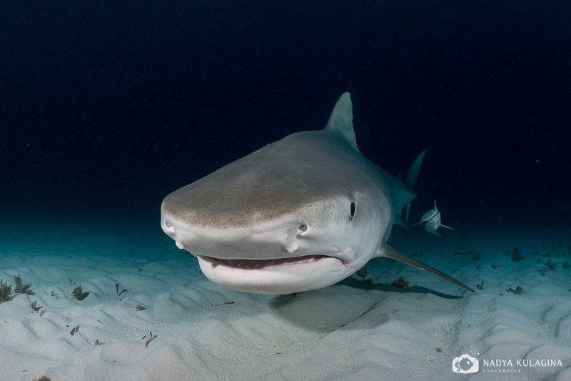 Predator, Shark, Tiger shark, Underwater, Акула, Подводная съемка, Тигровая акула, Хищник Парочкаphoto preview