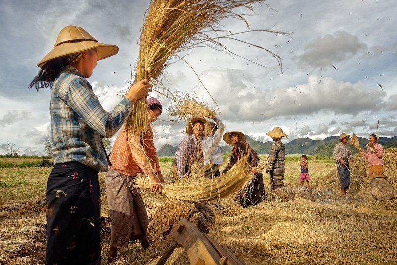 На уборке риса. Мьянма.photo preview