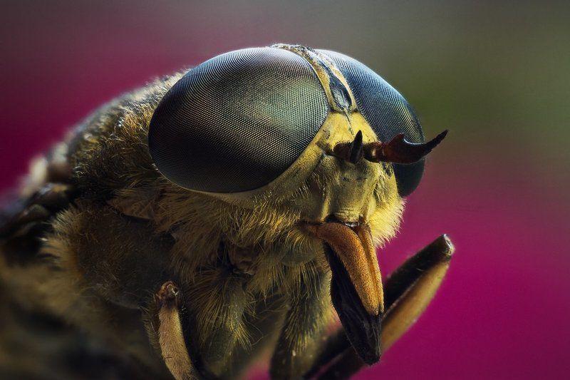 слепень, макро, портрет, насекомое Слепеньphoto preview