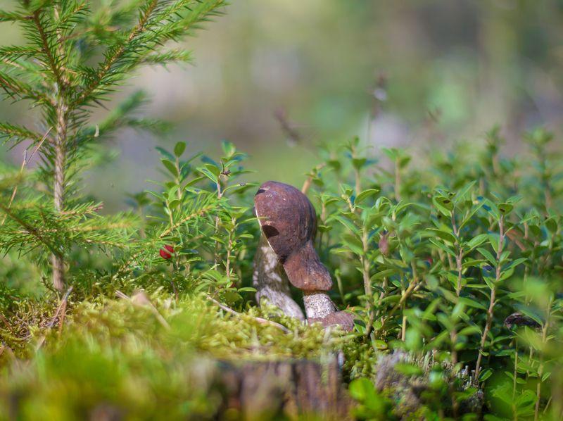 осень, природа, грибы, золотая осень, в лесу, россия, тихая охота, мухомор, белый гриб, подберезовик, зонтик, осенний лес, сосны, деревья, сосновый бор, Тихая охота.photo preview