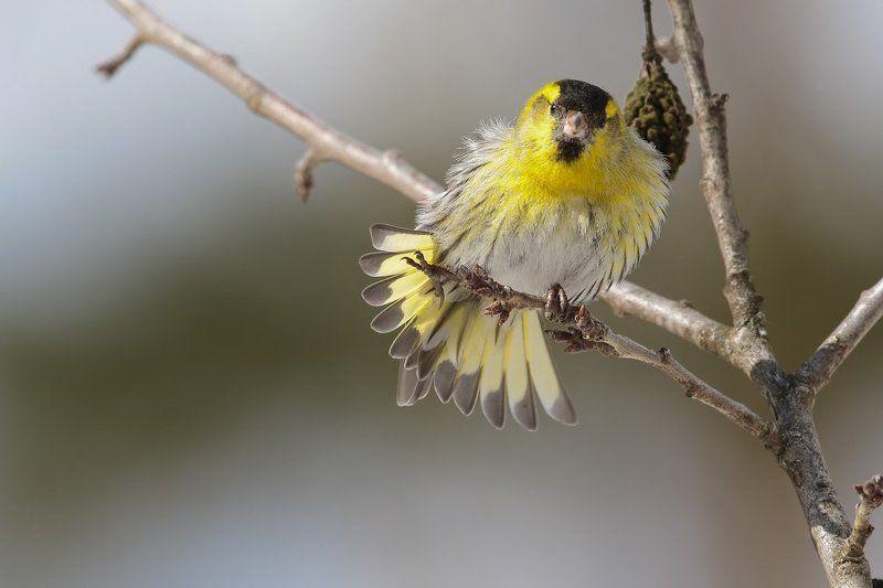 чижик, птицы, Подмосковье Чижик и веснаphoto preview
