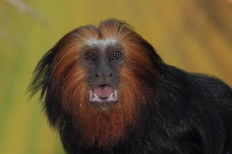 animals, monkey, tamarin, 7D, животные, тамарин, обезьяна  Wow!photo preview
