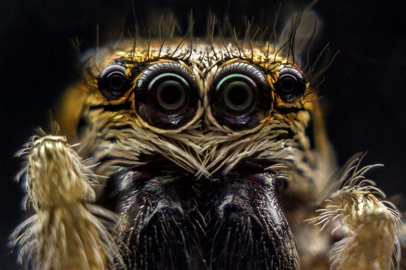 паук, скакун, багира киплинга, глаза, отражение, 4 Скакуныphoto preview