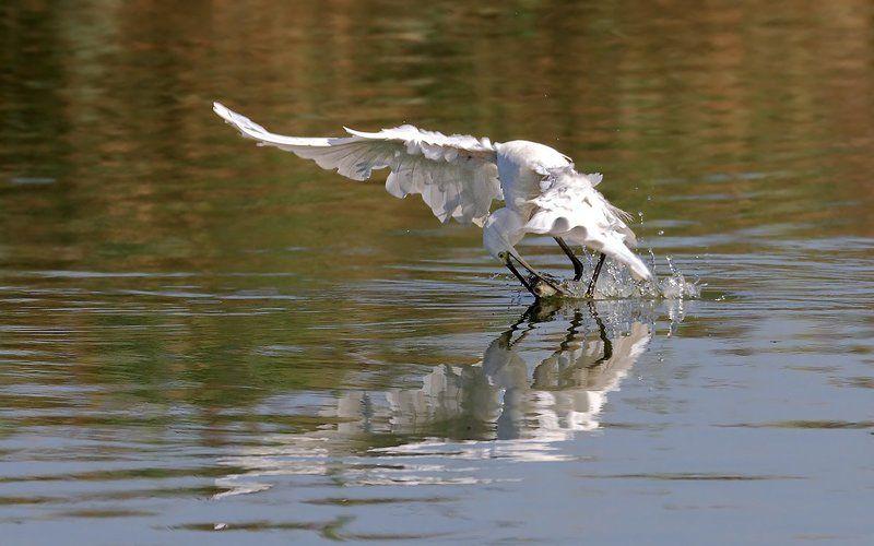 Animals, Birds, Egret, Fish, Дикая природа, Животные, Охота, Птицы, Рыба, Цапля Момент удачиphoto preview