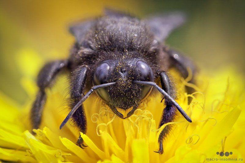 макро, пчела плотник, насекомые, желтый, весна, одуванчик, macro insomnia, macro, insect, кирилл кривошеев, bee Пчела-плотникphoto preview