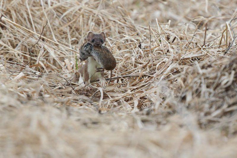 животные, горностай Удачная охотаphoto preview