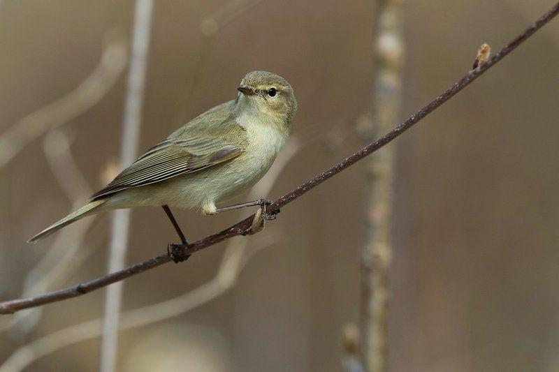птицы, пеночка, пеночка-теньковка Пеночка-теньковкаphoto preview