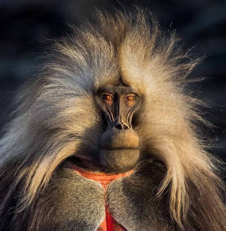 гелада бабун, симиенские горы, эфиопия И просто красавец мужчина!photo preview