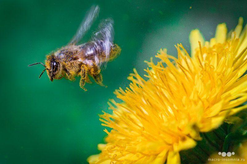 макро, пчелы, мед, одуванчики, солнце, апрель, май, взлет, крылья, в полете, кривошеев кирилл, макро инсомния, macro insomnia, пыльца, полет От цветкаphoto preview