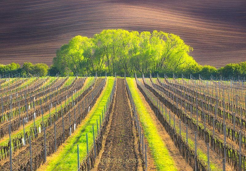 Spring wineyardphoto preview