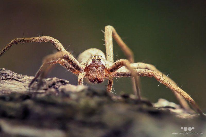 pisaura mirabilis, пизаура удивительная, макро, насекомые, паук, кирилл кривошеев, macro insomnia, дуб, роща В дубовой рощеphoto preview
