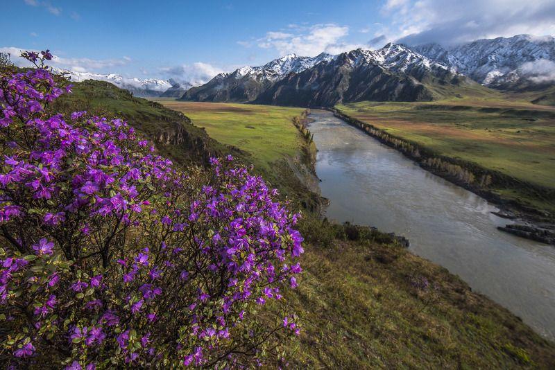 пейзаж, горы, алтай, цветы, природа, утро, река Сибирская сакураphoto preview