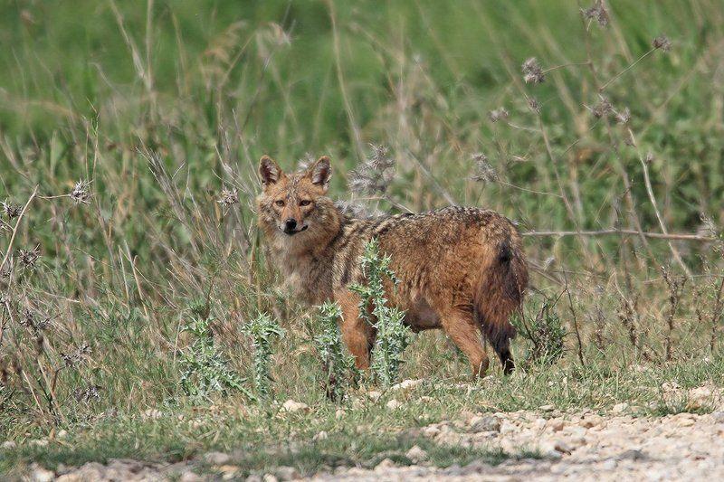 7D, Animals, Sigma 150-600, Wolf, Волк, Дикая природа, Животные Что-то там подозрительное..photo preview