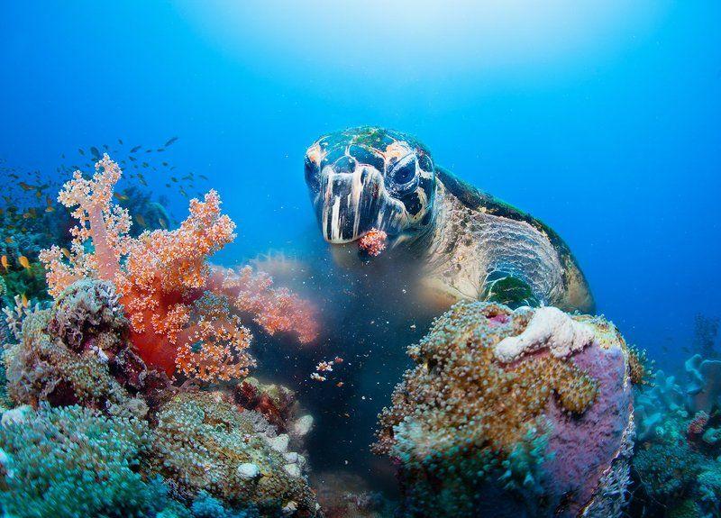Судан, Красное море, подводное, черепаха, море, кораллы, обед, портрет, wildlife Обедphoto preview