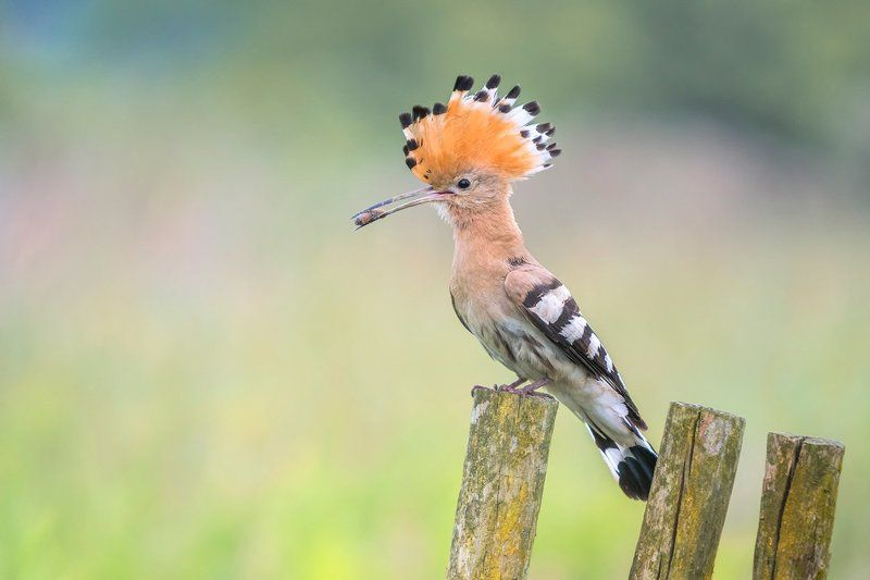 Eurasian Hoopoe...photo preview