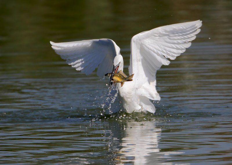 7d, animals, birds, egret, sigma 150-600, животные, озеро, птицы, рыба, цапля Ангел маленького озераphoto preview