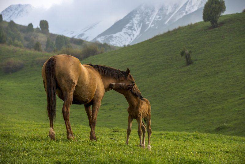 тянь-шань, лошади, лошадь, жеребенок, горы, григорий беденко, grigoriy bedenko, # Весна по-тяньшански! #photo preview