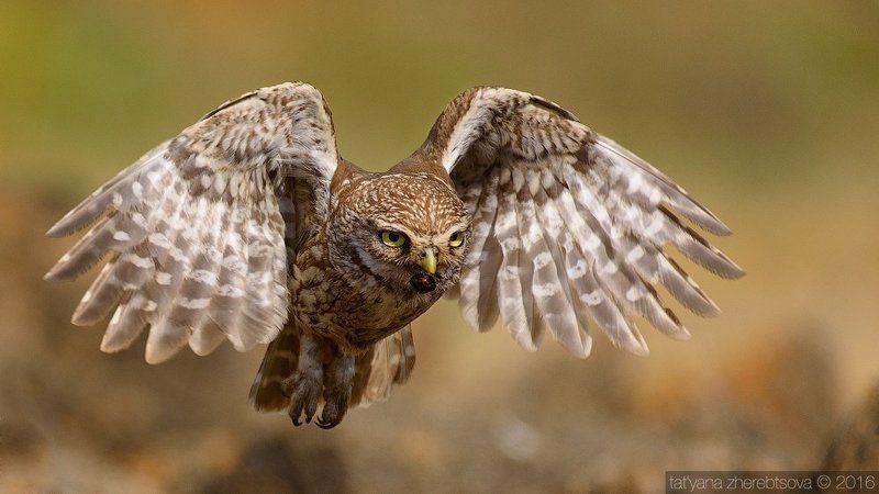 домовый сыч, my-mriya I can fly. Домовый сыч.photo preview