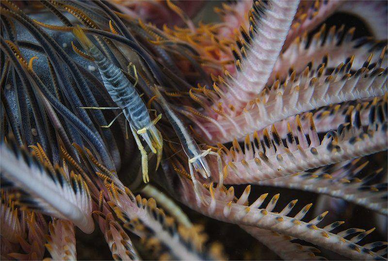 креветки, филиппины, макро криноидные страданияphoto preview